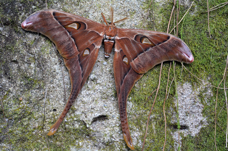 Hercules Moth (Coscinocera hercules) endemic to New Guinea and northern Australia It's the largest moth found in Australia.its wings have the largest surface area (300 cm2) of any living insect.