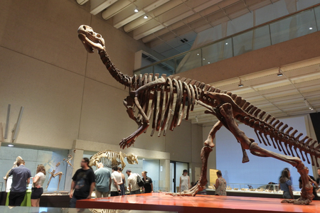 Photo pour BRISBANE -JAN 02 2019:Life-size skeleton of Muttaburrasaurus langdoni dinosaurs in Queensland Museum.Muttaburrasaurus was a large, plant-eating ornithopod from the Early Cretaceous of eastern Australia. - image libre de droit