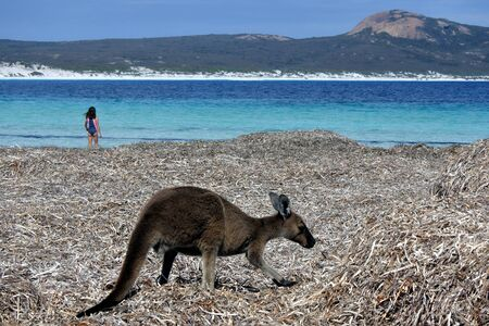 One Kangaroo on the beach in Lucky Bay Cape le Grand in Western Australia
