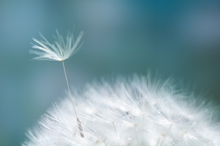 Closeup of dandelion - natural background