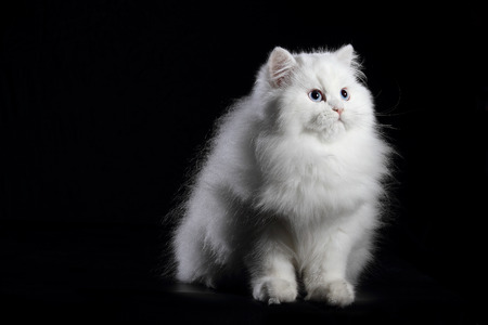 young white persian cat with blue eyes on black background