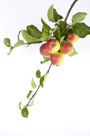 Twig with red ripe apple on white background