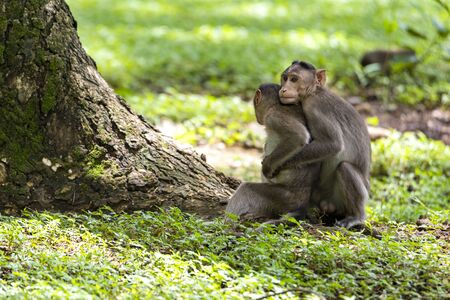 macaques playing and fighting to each other in the dark tropical forest in the Sanjay Gandhi National Park Mumbai Maharashtra India.