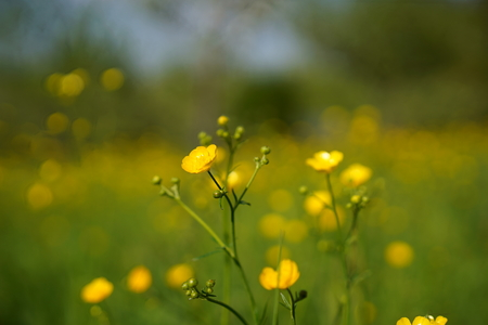 Photo pour Buttercup flowers on field, background - image libre de droit