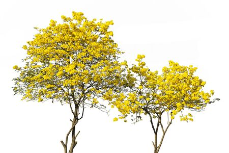 Photo pour golden tree, yellow flowers tree, tabebuia isolated on white background. - image libre de droit