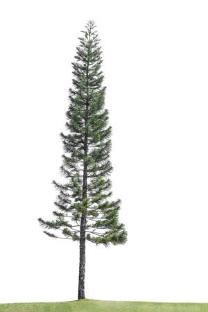 Photo for Pine Tree Isolated On White Background. - Royalty Free Image