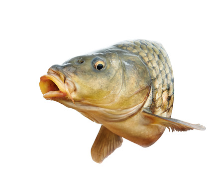 Photo for Carp fish with mouth open - Royalty Free Image