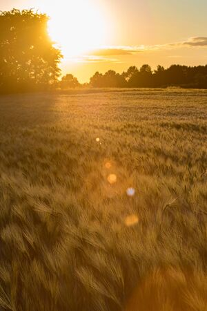 Photo pour Golden sunset along trees on the edge of a rye field. - image libre de droit
