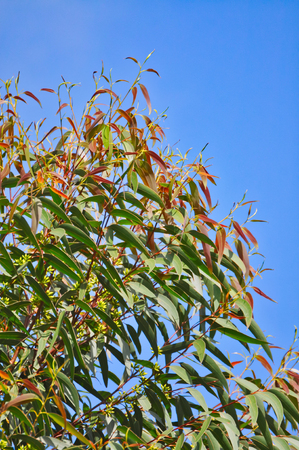 Eucalyptus branches and new leaves, in closeup, against a deep blue sky.