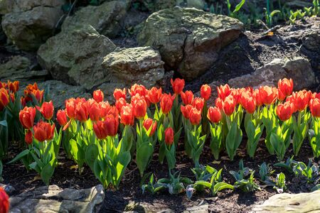 Photo for Flower garden, Netherlands, Europe, a group of colorful flowers - Royalty Free Image