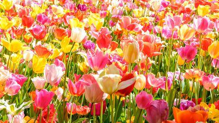 Photo pour Blooming tulips flowerbed in flower garden Keukenhof, colourful background, Holland - image libre de droit
