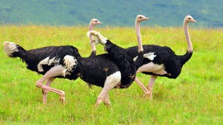 Three ostriches. Ngorongoro Crater, Tanzania