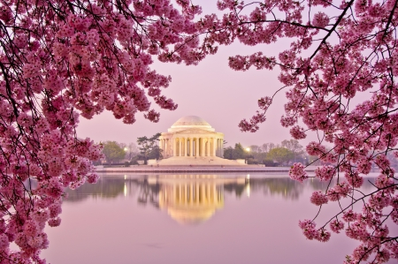 Dawn at the Jefferson Memorial during the Cherry Blossom Festival  Washington, DC