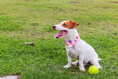 Jack Russell dog in Lawn with tennis ball