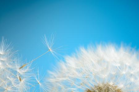 Photo pour Dandelion seeds fly away - image libre de droit