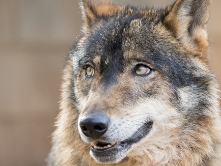 Portrait of a handsome and thoughtful iberian wolf