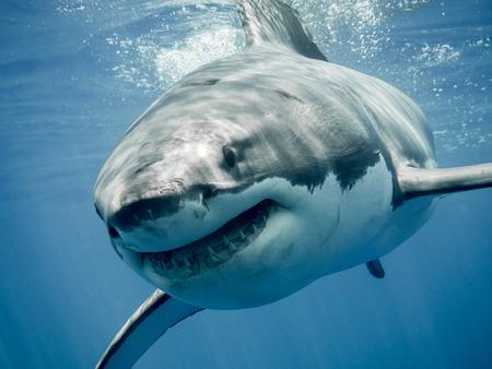 Photo pour Great white shark smiling - image libre de droit