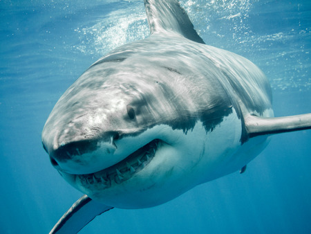 Foto de Great white shark close up front smiling and swimming in the blue Pacific Ocean at Guadalupe Island in Mexico - Imagen libre de derechos