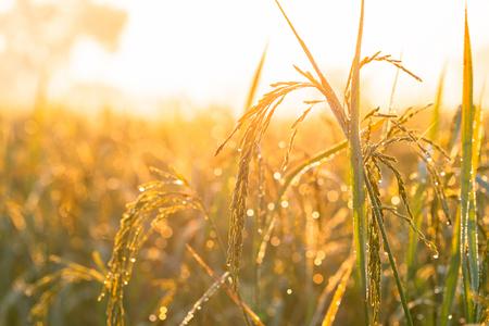Photo pour Golden yellow rice and the morning sun - image libre de droit