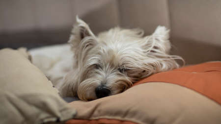 Photo pour Beautiful white dog, sleeping between the pillows of the bed. The breed of the dog is a Westie Terrier. - image libre de droit