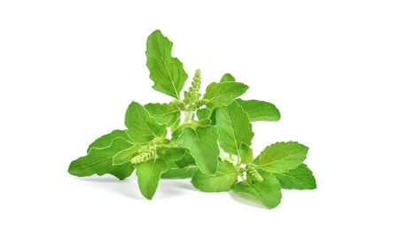 Photo for Holy Basil,Ocimum sanctum isolate on white background. - Royalty Free Image
