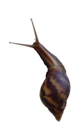 Foto de Isolate garden snail with white back ground - Imagen libre de derechos