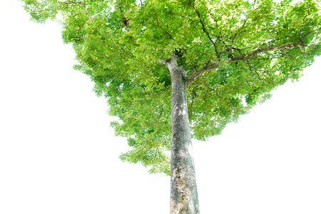 Foto de Green leaves and big tree isolated on white background - Imagen libre de derechos
