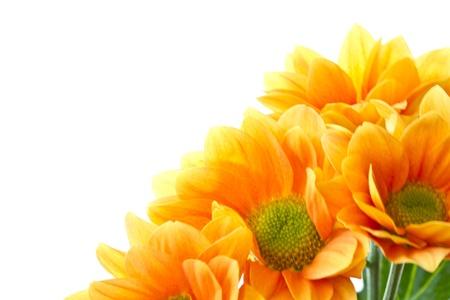 Chrysanthemum orange flowers on a white background
