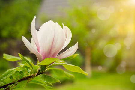 Foto de one pink flower on a branch of blooming magnolia close-up - Imagen libre de derechos