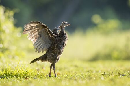 Photo pour A young Wild Turkey flexes its wings as it glows in the early morning sun standing in a grassy field. - image libre de droit