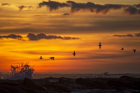 Photo pour A group of Long-tailed Ducks fly over a jetty with crashing waves in front of a colorful sunrise sky and clouds. - image libre de droit