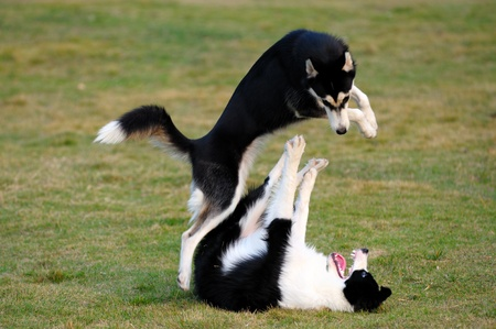 Two dogs playing on the lawn in the park