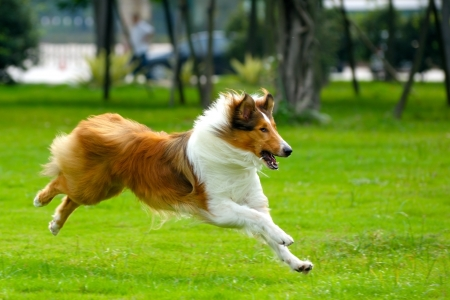 Foto de Collie dog running on the lawn - Imagen libre de derechos