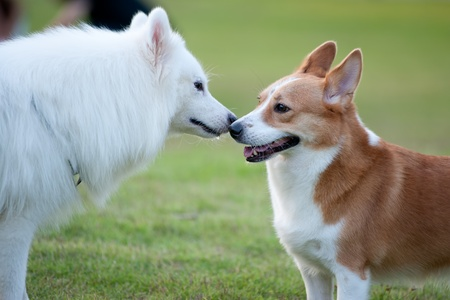 Foto de Two dogs ,Samoyed and Welsh Corgi, playing together on the lawn - Imagen libre de derechos