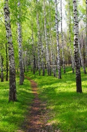 Footpath in birch grove in t
