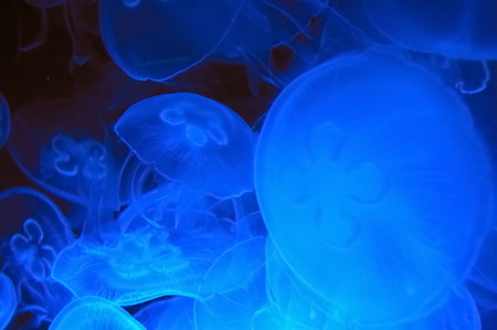 Foto per Blue jellyfish in deep blue water (Aurelia aurita)  - Immagine Royalty Free