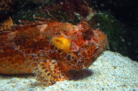 Foto per Scorfano Rosso (Scorpena scrofa), Genoa aquarium, Italy. - Immagine Royalty Free