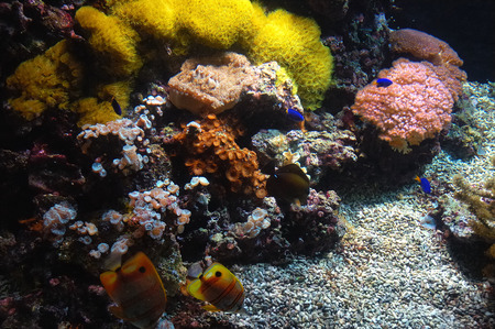 Foto per Coral reef with Copperband Butterfly (Chelmon rostratus) - Immagine Royalty Free