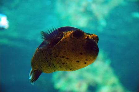 Foto per Masked Puffer (Arothron sp.), Genoa aquarium, Italy.  - Immagine Royalty Free