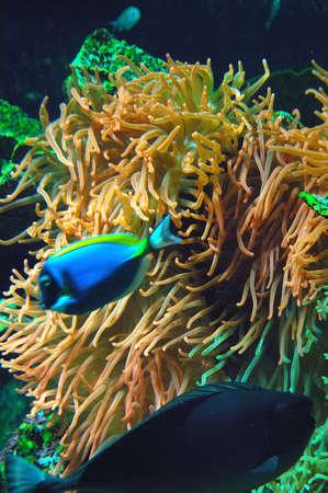Foto per yellow anemone and tropical blue fish in aquarium - Immagine Royalty Free