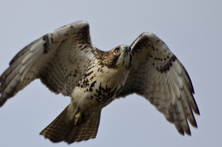 Immature Red-Tailed Hawk Flying in Cloudy Sky