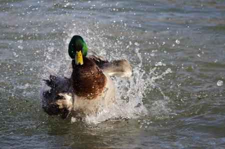 Bath Day for the Mallard Duck
