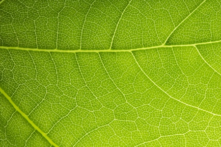 Leaf Vein veins branched net