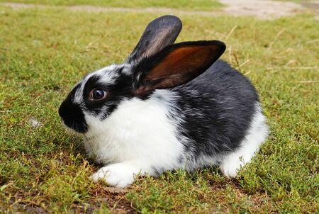 Photo pour Small black and white rabbit on the green lawn. Cute baby rabbit. - image libre de droit