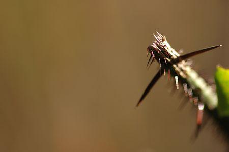 A limb from a thorn bush is broken off exposing jagged edges.