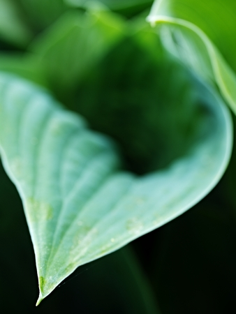 Hosta, ornamental plant for landscaping park and garden design. The Hosta plant for landscaping park and garden design. Large lush greenery with streaks. Veins of the leaf.