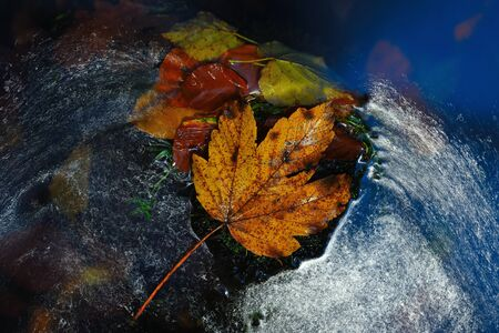 Leaf in shinning drops of mountain stream. Drops lightpainting. Detail of rotten yellow maple leaf lay on dark stone in blurred mirror waterの素材 [FY310133516653]