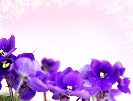 Pansies on a purple background