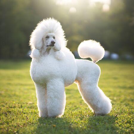 Photo pour Portrait of White Big Royal Poodle Dog. Outdoor - image libre de droit