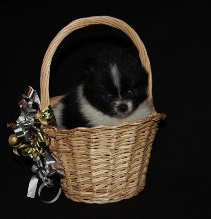Black And White Parti Pomeranian Puppy - Photography